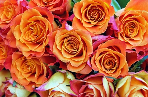 roses-1429633_640